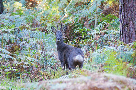Roe buck in woodland by Andy Beattie Photography