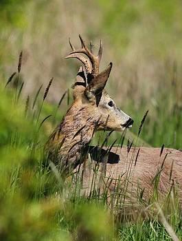 Roe Deer by Dragomir Felix-bogdan