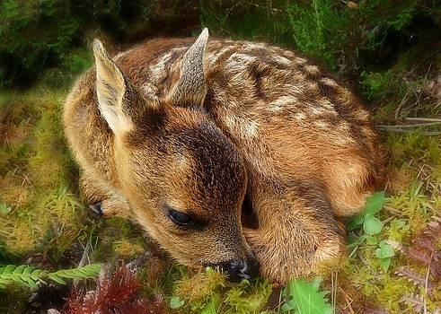 Roe deer fawn by Gavin Macrae