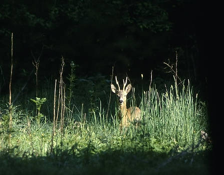Roe-deer looking at the photographer by Patrick Kessler