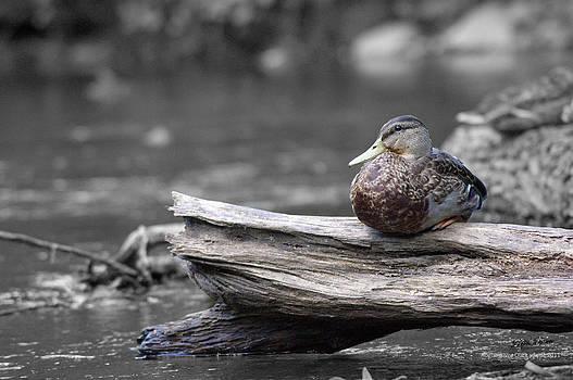 Rogue River Duck by Steph Maxson