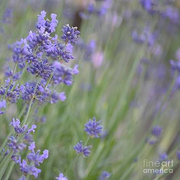 Romantic Lavender Flowers by P S