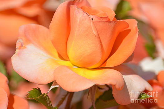Romantic Peach Rose by P S