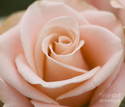 Oscar Gutierrez - Romantic pink rose