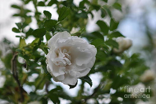 Romantic White Garden Rose by Tracy Lamus