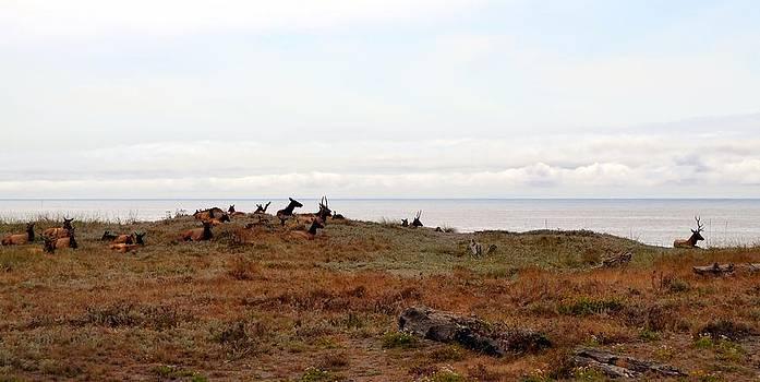 Michelle Calkins - Roosevelt Elk and the Ocean