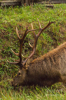 Roosevelt Elk by Terry Cotton