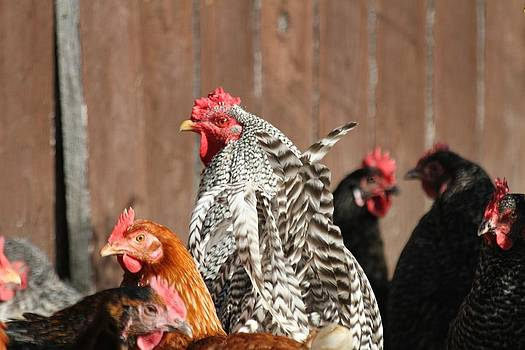 Rooster with Hens by Brad Fuller