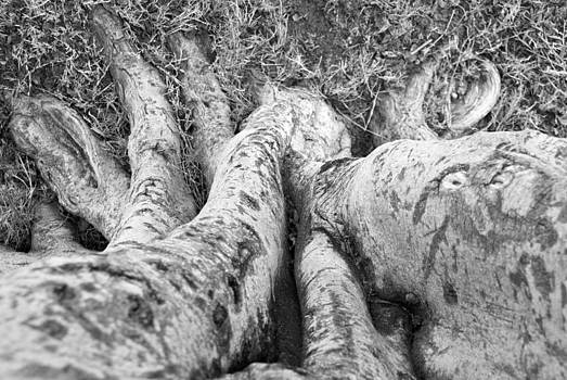 Rooted by Chris Ann Wiggins