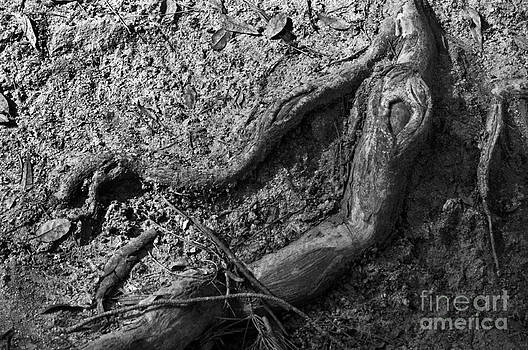 Roots by Dan Holm