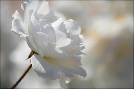 Rosa Blanca 8 by Mirza Ajanovic