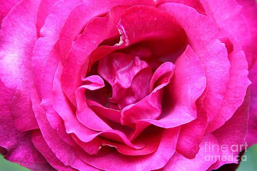 Rosa by Dawn Kori Snyder
