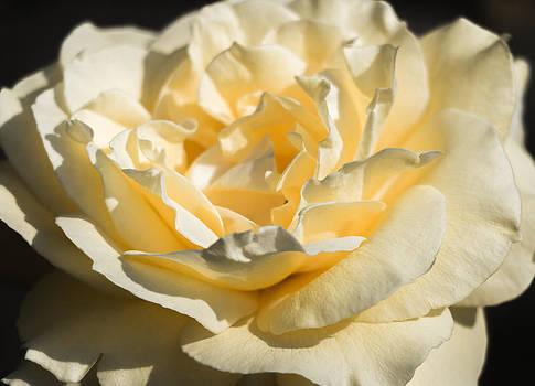 Rosa de la Amistad by Christen Weber