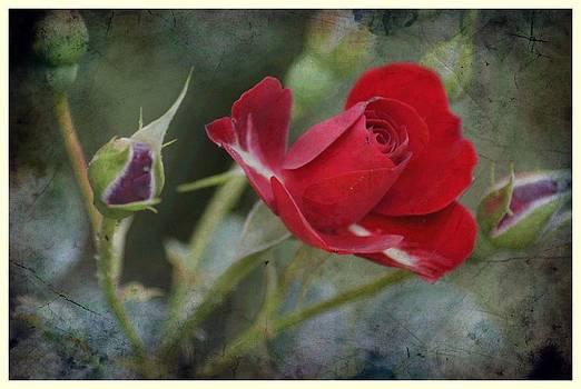 Rose 8 by Jaqueline Briel