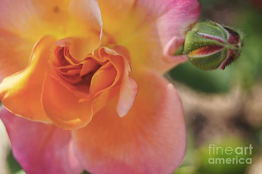 Rose and Bud by Debra Crank