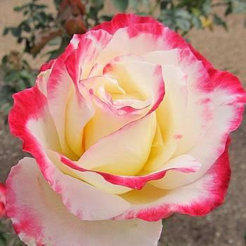 Martin Williams - Rose Bloom