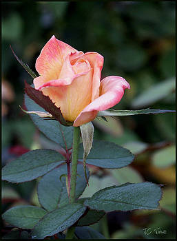Pink Rose Bloom  by James C Thomas