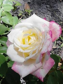 Rose Blush by Aiko Bartley