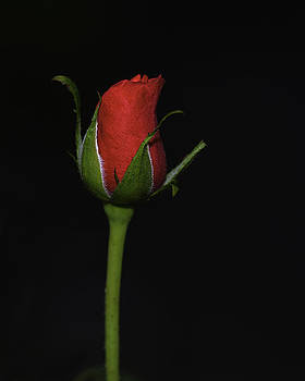 Rose Bud by William Jobes