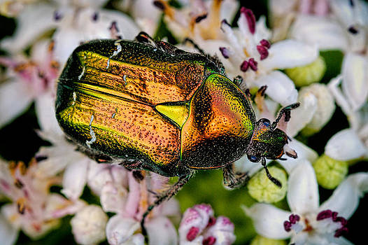 Rose Chafers by Zoran Buletic