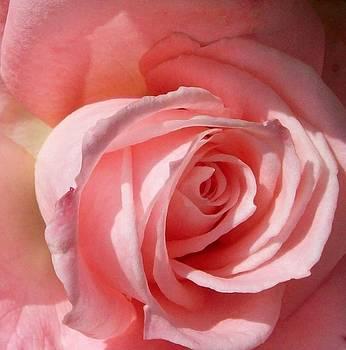 Rose - close up by Galina Todorova