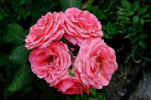 Rose by Emilija Jovanovic