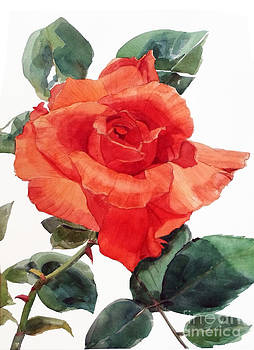 Watercolor of a Single Red Rose I call Red Rose Filip by Greta Corens