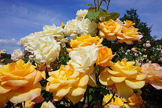 Baslee Troutman - Rose Garden Art Prints Yellow Orange Rose Flowers