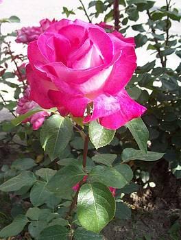 Rose I by Galina Todorova