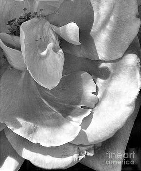 Rose in Black and White by JL Swenka