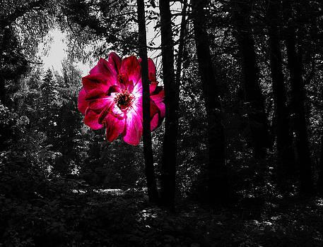 Rose In Field 181 by Leonard Rosenfield