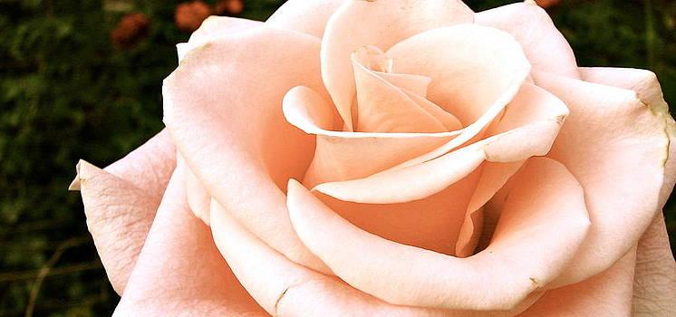 Sandy Tolman - Rose in Soft Blush