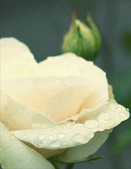 Rose in the rain by Cathie Tyler