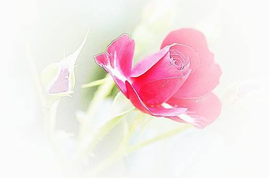 Rose by Jaqueline Briel