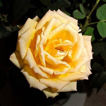 Marc Philippe Joly - rose jaune