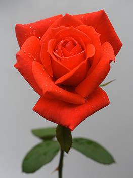 Rose by Joan Powell