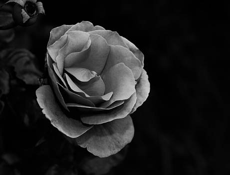 Rose by Joep K