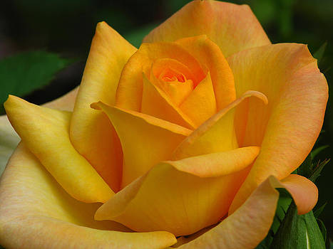 Juergen Roth - Rose
