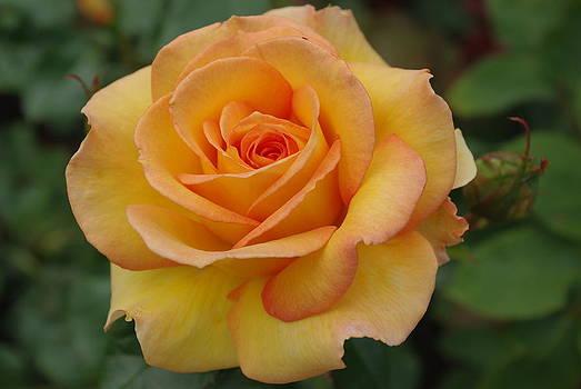 Marilyn Wilson - Rose