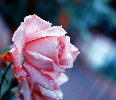 Rose by Nataly Rubeo