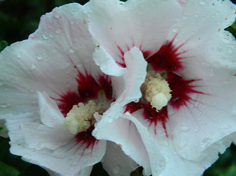 Rose of sharon by Linda Brown