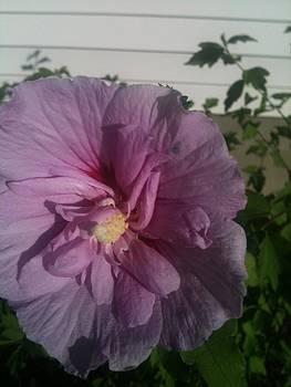Rose of Sharon by Toni  Di Nuzzo