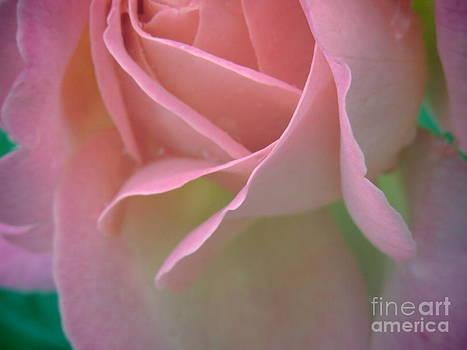 Rose Petals by David Lankton
