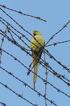 Gaurav Singh - Rose-ringed Parakeet