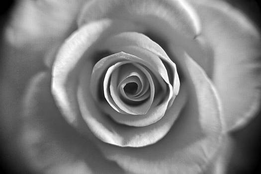 Rose Spiral 4 by Kim Lagerhem