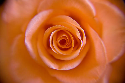 Rose Spiral by Kim Lagerhem