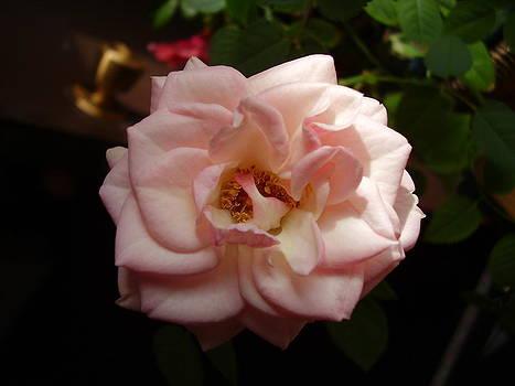 Rose by Yvette Pichette