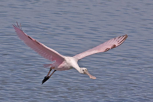 Terry Shoemaker - Roseate Spoonbill flying