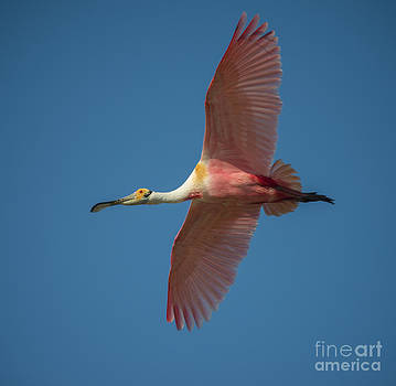 Roseate Spoonbill in Flight by Richard Mason