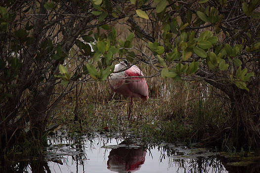 Roseate Spoonbill Resting by Suzie Banks